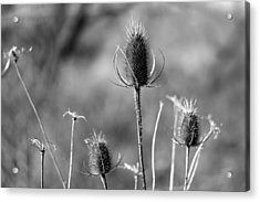 Simply Thistle Acrylic Print