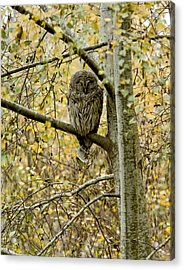 Sleeping Owl Acrylic Print by Vern Minard