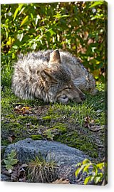 Sleeping Timber Wolf Acrylic Print by Michael Cummings