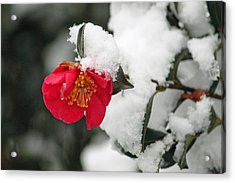 Snow Bloom Acrylic Print by Suzanne Gaff