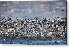 Snow Geese In Flight Acrylic Print by Lisa Plymell