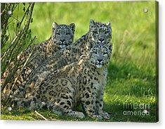 Snow Leopard Or Ounce Uncia Uncia Acrylic Print by Gerard Lacz
