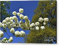 Acrylic Print featuring the photograph Snowballs by Skip Willits