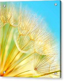 Soft Dandelion Flowers Acrylic Print