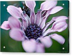 Acrylic Print featuring the photograph Soft Purple by Michaela Preston
