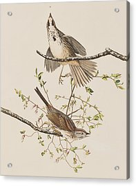 Song Sparrow Acrylic Print by John James Audubon