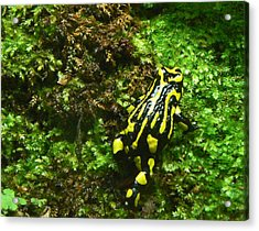 Southern Corroboree Frog Strolling Acrylic Print by Margaret Saheed