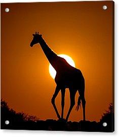 Southern Giraffe Giraffa Camelopardalis Acrylic Print by Panoramic Images