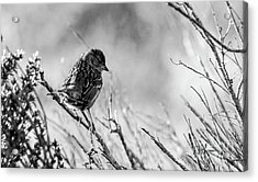 Snarky Sparrow, Black And White Acrylic Print