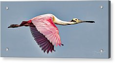 Acrylic Print featuring the photograph Speedy Spoonbill by David A Lane