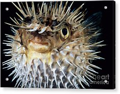 Spiny Puffer Acrylic Print by Dave Fleetham - Printscapes
