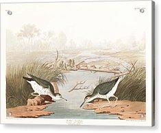 Spotted Sandpiper Acrylic Print by John James Audubon