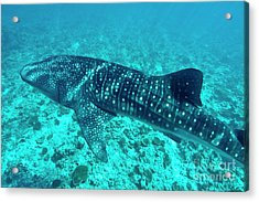 Spotted Whale Shark Acrylic Print by Sami Sarkis