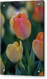 Spring Tulip Acrylic Print