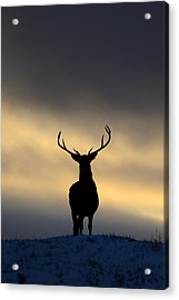 Stag Silhouette  Acrylic Print