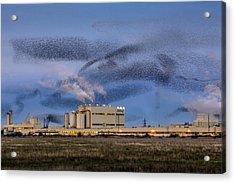 Starling Mumuration Acrylic Print by Ian Hufton