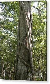 Strangler Fig And Cypress Tree, Florida Acrylic Print