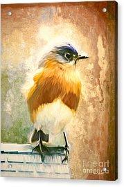 Strapping Bluebird Acrylic Print by Tina LeCour