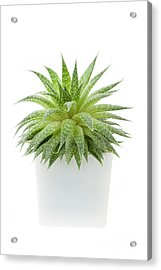 Acrylic Print featuring the photograph Succulent Plant by Elena Elisseeva