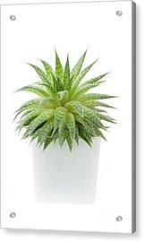 Succulent Plant Acrylic Print