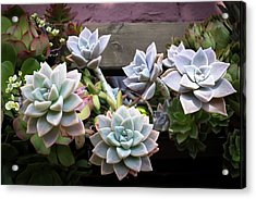Acrylic Print featuring the photograph Succulents by Catherine Lau