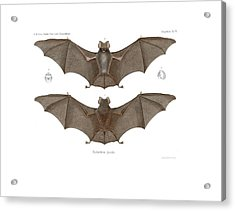 Acrylic Print featuring the drawing Sundevall's Roundleaf Bat by A Andorff