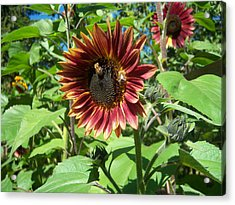 Sunflower 133 Acrylic Print by Ken Day