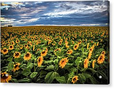 Sunflower Farm Acrylic Print