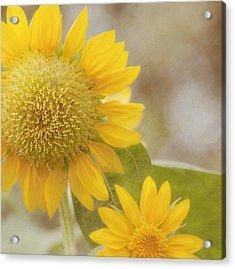 Sunflower Acrylic Print by Kim Hojnacki