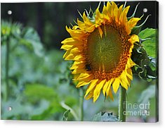 Sunflower Series Acrylic Print by Wendy Mogul