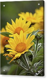 Acrylic Print featuring the photograph Sunflowers  by Saija Lehtonen