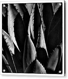 Sunlit Cactus Acrylic Print by David Patterson