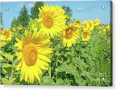 Sunny Sunflowers Acrylic Print by Cheryl Baxter