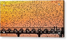 Sunset And Starlings In Aberystwyth Wales Acrylic Print
