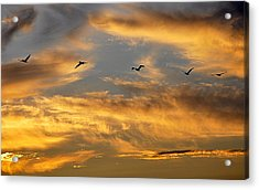 Sunset Flight Acrylic Print by AJ Schibig