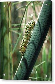 Acrylic Print featuring the photograph Swallowtail Caterpillar by Meir Ezrachi