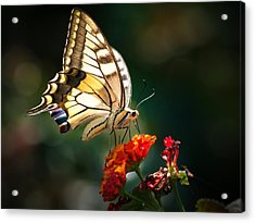 Swallowtail Acrylic Print by Meir Ezrachi