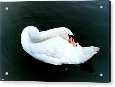 Swan At Rest  Acrylic Print by Richard Mansfield