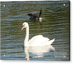 Swan Acrylic Print by Elizabeth Fontaine-Barr