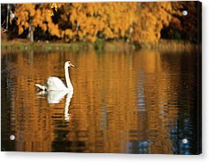 Swan On A Lake Acrylic Print