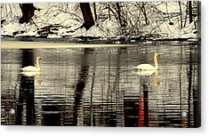 Swan Song Acrylic Print by Aron Chervin