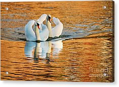 Acrylic Print featuring the photograph Swimming On Gold by Darren Fisher