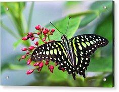 Acrylic Print featuring the photograph Tailed Green Jay Butterfly  by Saija Lehtonen