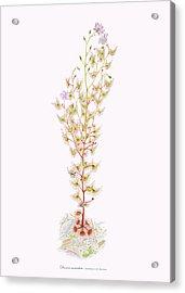 Tall Sundew Acrylic Print