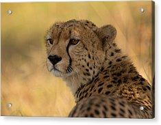 Tears Of A Cheetah Acrylic Print by Ashley Vincent