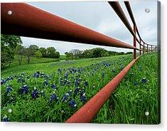 Texas Bluebonnets In Ennis Acrylic Print