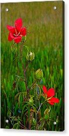 Texas Star Hibiscus Acrylic Print