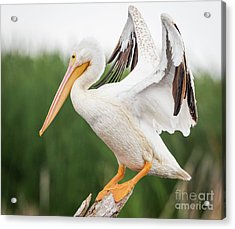 Acrylic Print featuring the photograph The Amazing American White Pelican  by Ricky L Jones
