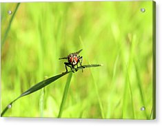 The Fly Acrylic Print by David Stasiak