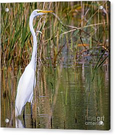 The Great White Egret Acrylic Print by Ricky L Jones